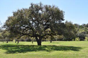 Texas Live Oak Home Foundation